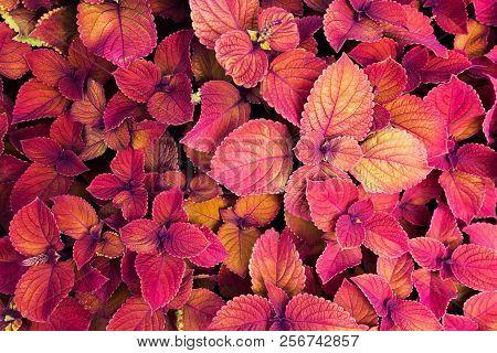 Colorful coleus plants. Lavish carpet of red outdoor plants. poster