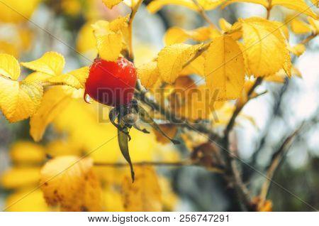 Autumn landscape - autumn bush with rosehip berry. Soft focus processing. Closeup of autumn rose hip berry, autumn nature scene