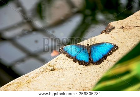 Beautiful Blue Morpho Butterfly In Nature (morpho Peleides)
