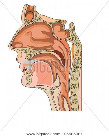 Anatomy of the nose and throat poster