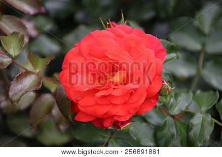 Rose Type Gebruder Grimm In Close-up In The Public Rosarium Of Boskoop In The Netherlands,