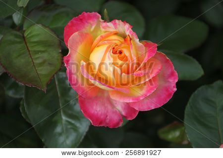 Rose Type La Villa Cottain Close-up In The Public Rosarium Of Boskoop In The Netherlands In Yellow A