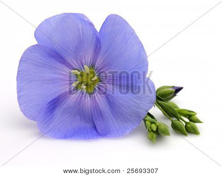 Flower of flax in closeup