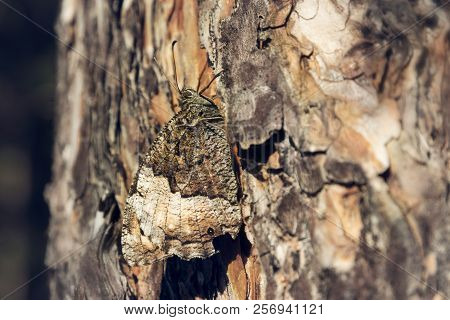 Butterfly Camouflage. Butterfly In Nature. Nature Butterfly On Tree Bark. Butterfly Camouflages On T