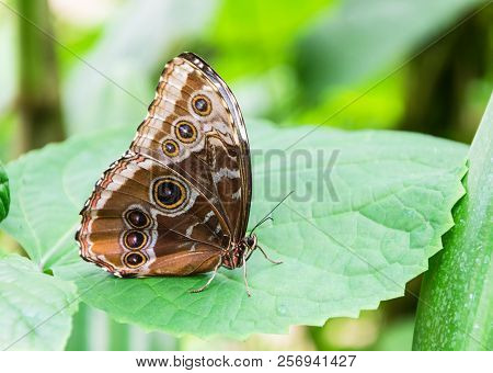 Detail Folded Wing Of A Blue Morpho Butterfly (morpho Peleides)