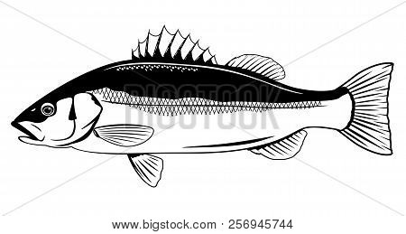 One Sea Bass Fish In Side View In Black And White Color, Isolated