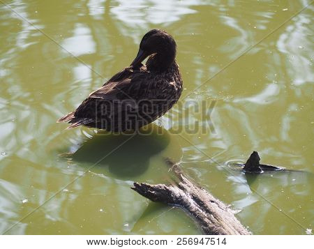 Photography Of A Hooded Merganser (scientific Name: Lophodytes Cucullatus)
