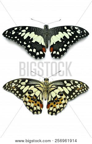 Top And Bottom View Of Lime Butterfly, Papilio Demoleus, On White Background