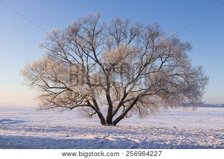 Winter Landscape Of Large Tree On Snow On Clear Sunny Morning With Blue Sky. Beautiful Nature In Dec