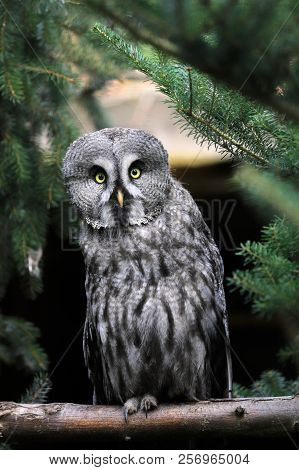 Full Body Of Adult Male Great Grey Owl (strix Nebulosa). Photography Of Nature And Wildlife.