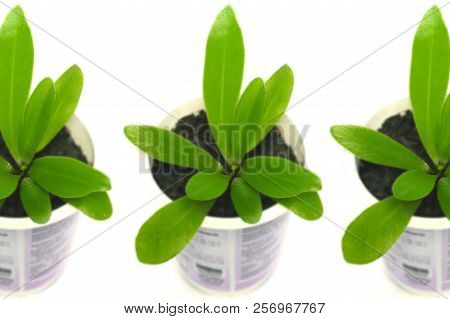 Bird Nest Fern, Asplenium Nidus, Plant In Recycled Plastic Cup On White Background