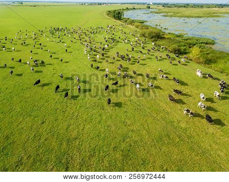 Aerial Drone View, A Herd Of Cows Grazing In Meadows Near The River.