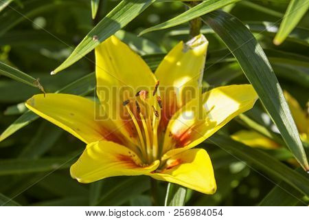 One Big Beautiful Yellow Garden Faded Lily
