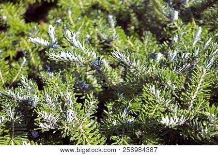 Garden Juniper Branches Pattern On Hot July Sun