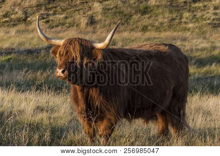 Scottish Highland Cow On Meadow During Sunset.