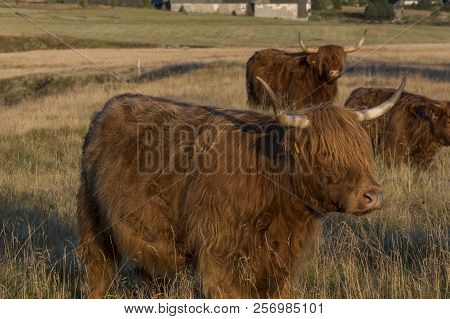 Scottish Highland Cows On Meadow During Sunset.