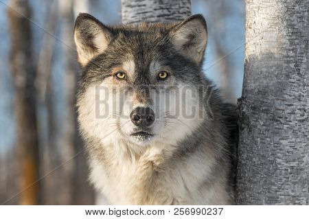 Grey Wolf (canis Lupus) Stares Out - Captive Animal
