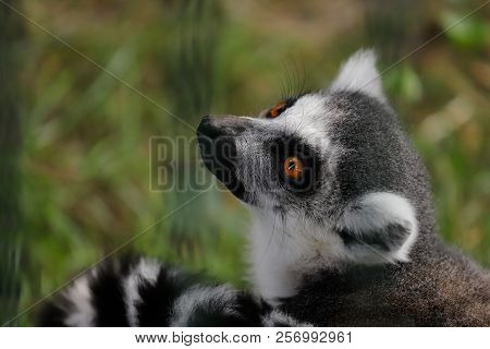 Portrait Of Ring-tailed Lemur (catta). Photography Of Nature And Wildlife.