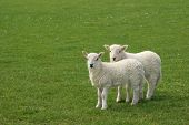Two white lambs standing together in a field in spring. poster