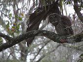 spotted owl perched on branch in Florida swamp poster