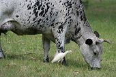 Nguni cattle cow with horns grazing in a meadow with a tick bird egret following poster