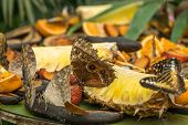 Peleides morpho butterflies, also known as Morpho peleides, eating oranges and pineapples poster
