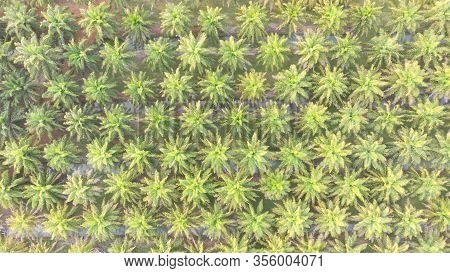 Arial View Of Palm Tree Plantation.coconut Tree Garden Background.oil Palm Trees Drone Point Of View