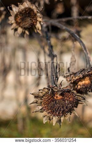 Big Dry Brown And Dead Sunflower In The Garden