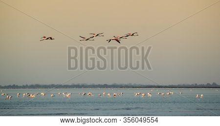 Flight Of A Flock Of Greater Flamingo, Phoenicopterus Roseus, Upon The Mediterranean Sea In Camargue