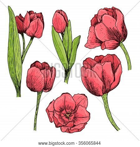Set Of Red Tulips Drawn By Hand. Blooming Flowers With Leaves And Stems. Colored Vector Illustration