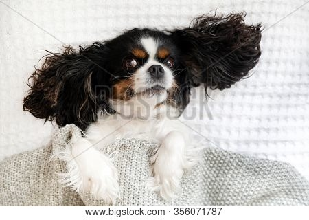 Portrait Of A Dog, Cavalier Spaniel Lying In The Bed Under The Blanket
