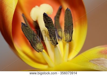 Tulipa Flower Macro Background High Quality Aximensis Family Liliaceae