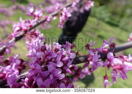 Close View Of Pink Flowers Of Cercis Canadensis In April