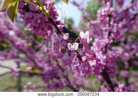 Closeup Of Pink Flowers Of Cercis Canadensis In April