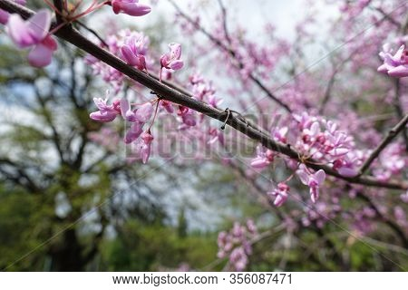 Diagonal Branch Of Blossoming Cercis Canadensis In May