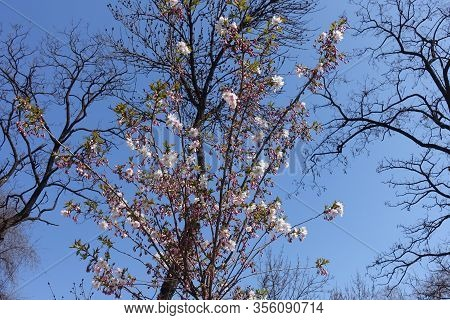 Branches Of Japanese Cherry Tree Against Blue Sky In The Beginning Of Florescence