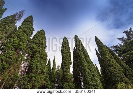 Evergreen Large Cypress Trees Stretch To Sky. Bad Weather And High Dark Forest. Natural Environmenta
