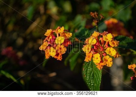 Lantana Hirta Multicolour Flower From Verbenaceae Family With Its Leaves 3