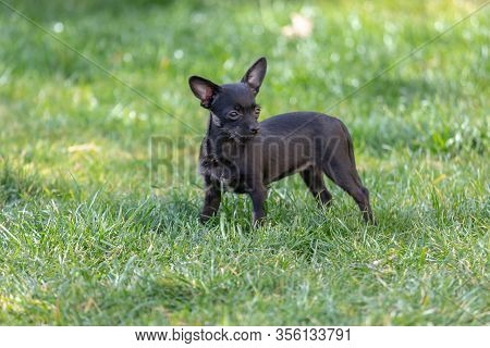 Cute Black Puppy Portrait, Chipoo Puppy, (chihuahua Poodle Mix)