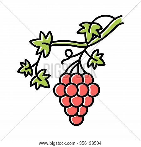 Grapevine Color Icon. Brush Of Grapes On Branch. Viticulture, Winemaking. Symbol Of Wealth, Abundanc