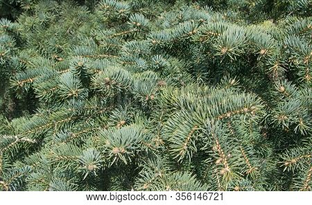 Background From Spruce Green Branches. Natural Photo Without Photoshop.