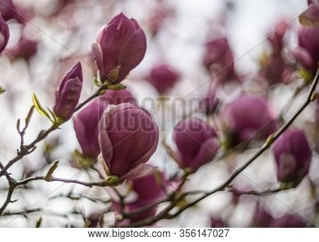 Natural Background Concept. Pink Magnolia Branch. Magnolia Tree Blossom. Blossom Magnolia Branch Aga