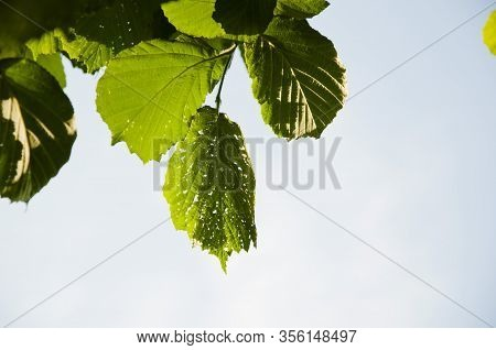 Hazel Leaves In Sunlight On Blue Sky Background. Place For Copy Space. Green Hazel Tree. Harvest Con