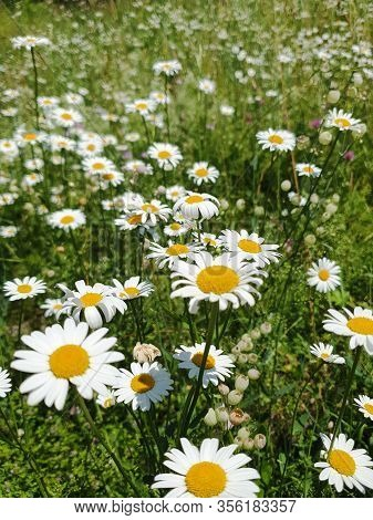 In The Middle Of Grasses Ox-eye Daisies In Full Bloom Splendour In A Alpine Meadow. The White Flower