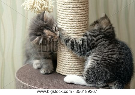 Two Kittens, Gray And Tabby, Are Playing Near The Scratching Post