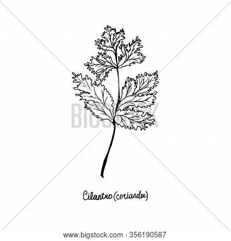 Herbs Are Grown In The Garden. Coriander. Vector Illustration Is Drawn By Hand. Doodle Style.