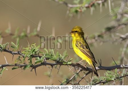 The Yellow Canary (crithagra Flaviventris) Is Sitting On Thorny Branch In The Savanna