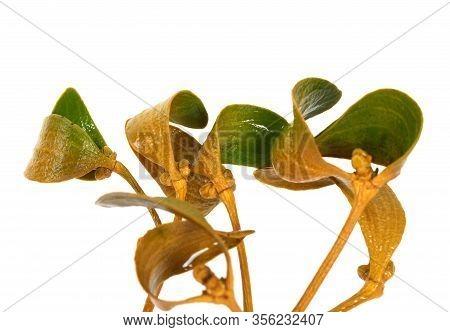 Wet Greenish-yellow Branch Of European Mistletoe Viscum Album With Foliage. Isolated On White Backgr
