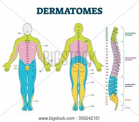 Dermatomes Vector Illustration. Labeled Educational Anatomical Skin Parts Scheme. Epidermis Area Sup