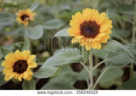 Helianthus Annuus Or Sunflower Is Annual Plant In Family Asteracea. Big Yellow Flower And Green Leav